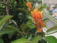 05-byrsonima-crassifolia-on-left-terrace