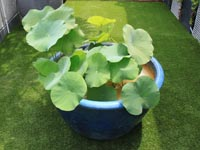 07-lotus-on-big-pot-between-the-terraces
